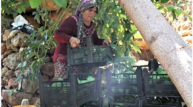 Türkiye'nin Avokadosu Yetişiyor